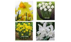 Narciso Botánicas