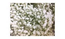 Paniculata bulbo