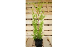 "Cupressocyparis Leylandii ""Cast.Gold"""