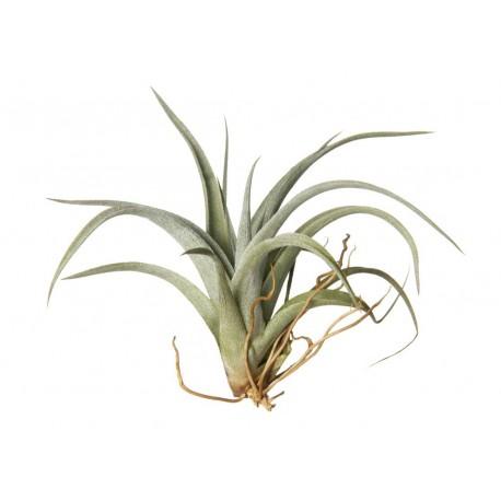 Plantas del aire o Tillandsias